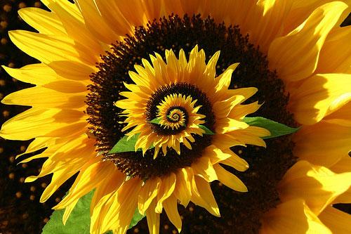 flower-spiral